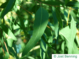The lanceolate leaf of Red River Gum