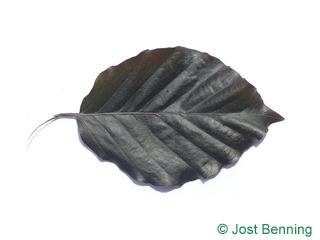 The ovoid leaf of Dawyk Beech