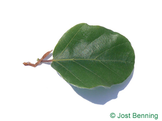 The rounded leaf of Round-leaved European Beech