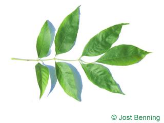 The compound leaf of Arizona Ash