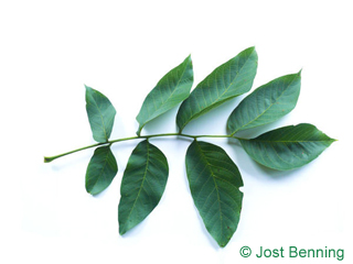 The compound leaf of Common Walnut