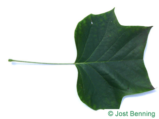 The lobed leaf of tulip tree