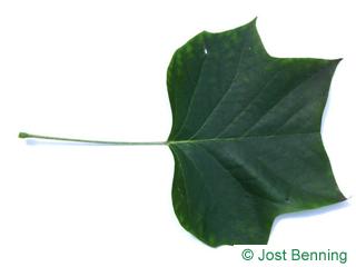 The lobed leaf of tulip tree
