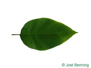 The ovoid leaf of Cucumber Tree