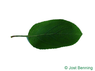 The ovoid leaf of European Crab Apple