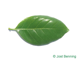 The ovoid leaf of Black Tupelo