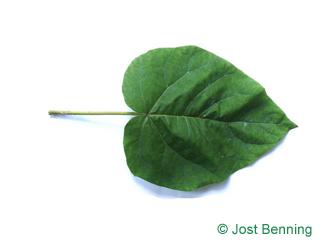 The heart-shaped leaf of Foxglove Tree