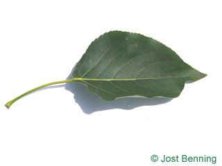 The ovoid leaf of Balsam Poplar
