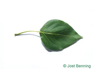 The triangular leaf of Carolina Poplar