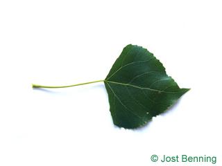 The triangular leaf of Lombardy Poplar
