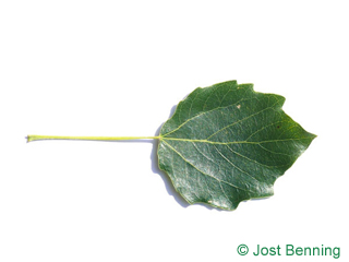 The ovoid leaf of grey poplar