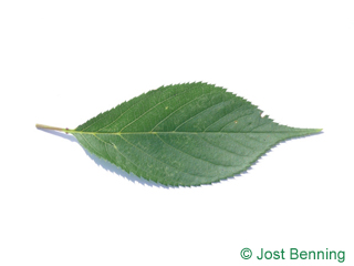 The ovoid leaf of Wild Cherry