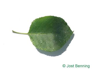 The ovoid leaf of Mahaleb Cherry