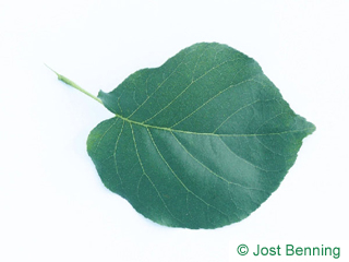 The ovoid leaf of Bird Cherry