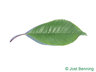 The ovoid leaf of Fire Cherry