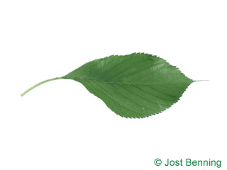 Prunus serotina 'amanogawa'