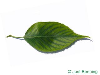 Prunus serotina 'shirotae'