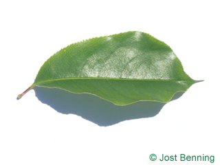 The ovoid leaf of Black Cherry