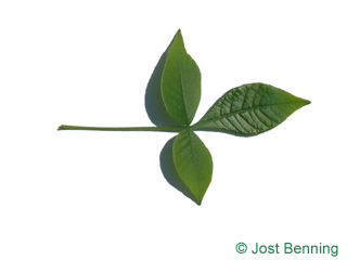 The compound leaf of Hoptree