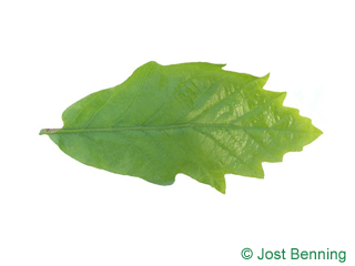 The sinuate leaf of Swamp White Oak