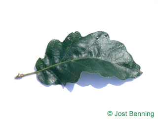 The sinuate leaf of Turkish Oak