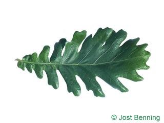 The sinuate leaf of Hungarian Oak