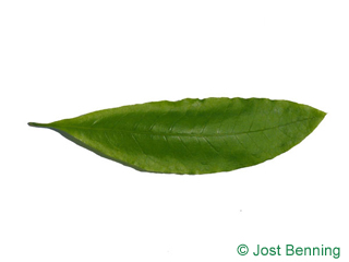 The lanceolate leaf of Shingle Oak