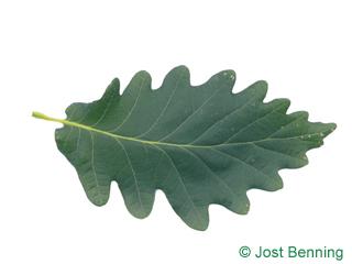 The sinuate leaf of Caucasian Oak