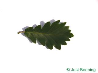The sinuate leaf of Sessile Oak
