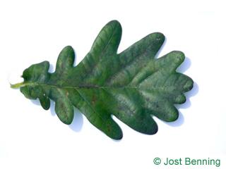 The sinuate leaf of English Oak