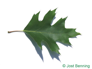 The sinuate leaf of Northern Red Oak