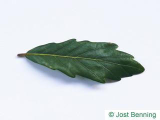 The sinuate leaf of Turner's Oak