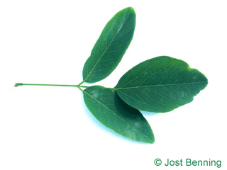 The compound leaf of Street Black Locust