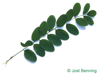 The compound leaf of Black Locust