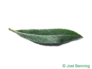 The lanceolate leaf of White Willow