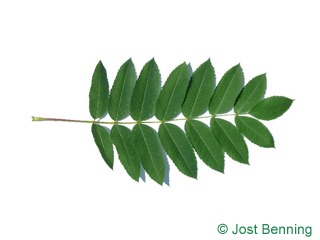 The compound leaf of American Mountain Ash