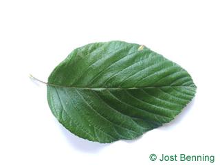 The ovoid leaf of Whitebeam