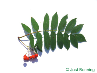 The compound leaf of European Mountain Ash, Rowan