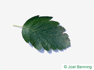 The ovoid leaf of Swedish Whitebeam