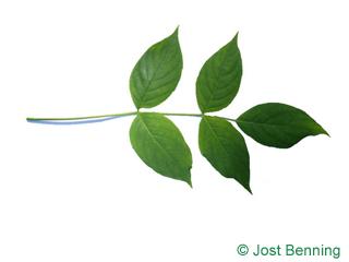 The compound leaf of American Bladdernut