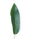 lanceolate leaf here spanish chestnut