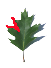sinuate leaf here northern red oak