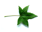 sweetgum leaf e.g.