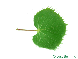 The heart-shaped leaf of Henry's Lime