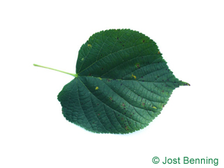 The heart-shaped leaf of Common Lime