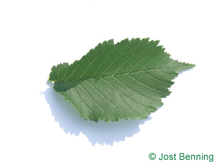 The ovoid leaf of Wych Elm
