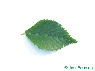 The ovoid leaf of Dutch Elm