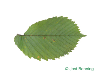 The ovoid leaf of European White Elm